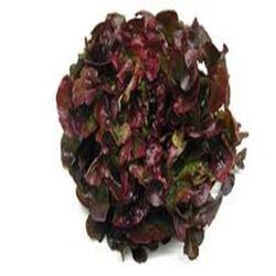 Salade Feuille de Chêne Rouge, la pièce origine
