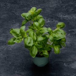 Basilic fin, BIO, France, pot 250g