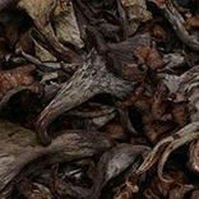 Champignon trompette de la mort