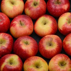 Pomme Jonagored, BIO, LA POMMERAIE NANTAISE, calibre 136/165, catégorie 1, Treillières, barquette 4 fruits