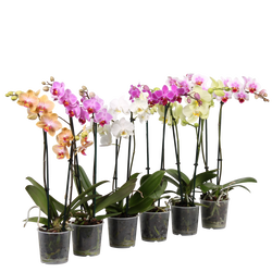 Phalaenopsis 2 tiges, hauteur 40/50cm, diamètre pot 9cm