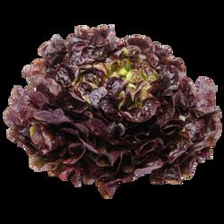 Salade Feuille de Chène Rouge