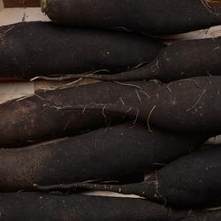 Radis noir, BIO, Nouvelle Aquitaine, la pièce