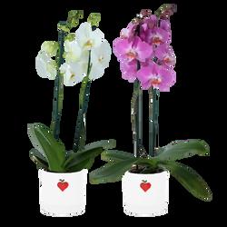 Phalaenopsis 2 tiges pot 12cm ceramique hauteur 55/70cm Pays-Bas