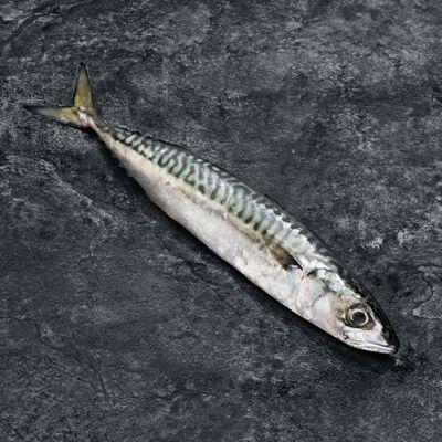 Maquereau, Scomber scombrus, en eau, Espagne, pêché en Atlantique NordEst
