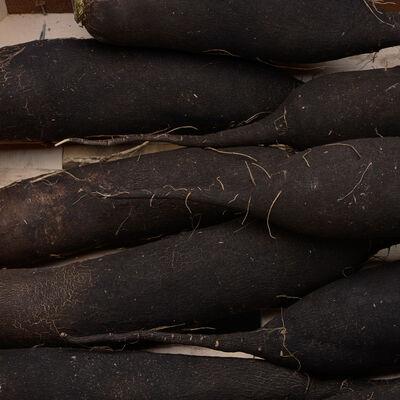 Radis noir long, BIO, Alsace.