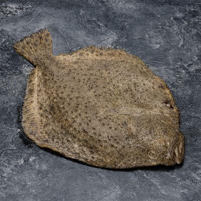 Turbot, Scophtalmus maximus, Pêché en Atlantique Nord-Est