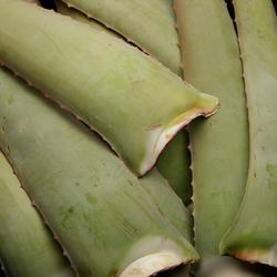 Aloe vera, BIO, Espagne
