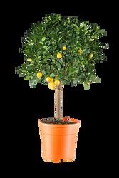 Oranger nain citrus mitis calamondin pot 7l orange