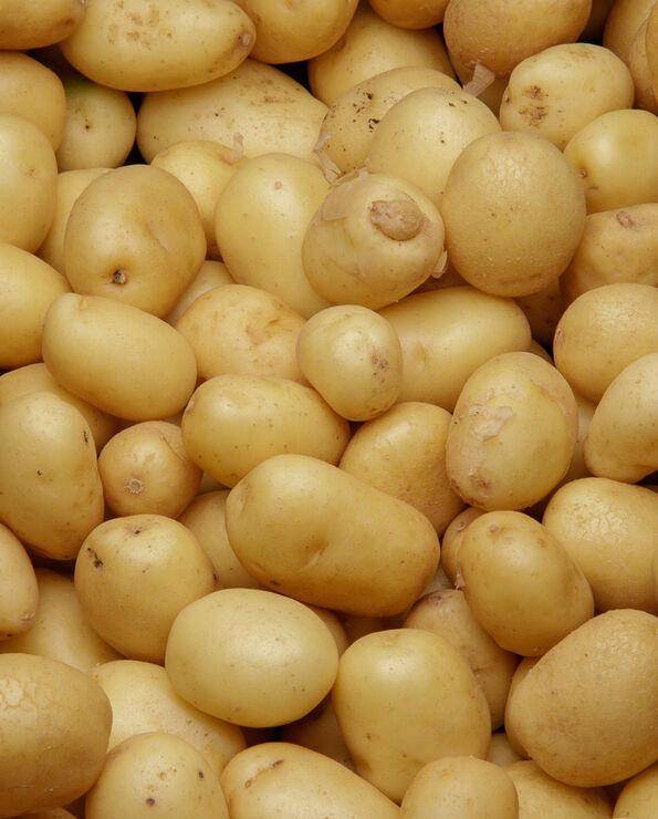 Pomme de terre grenaille primeur Lady Christl, à chair ferme, Calibre35/35, Catégorie 1, Noirmoutier