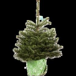Sapin nobilis pot hauteur 100/150 France