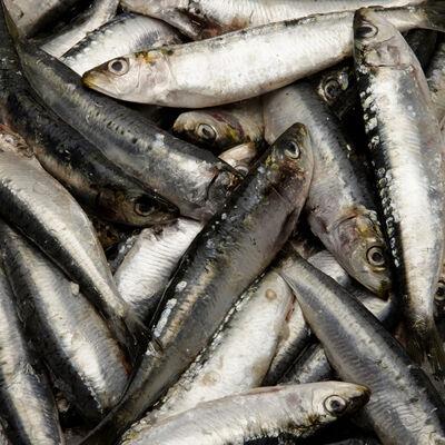 Sardine lamparo, Sardina Pilchardus, calibre 40/55, pêchée en méditerannée