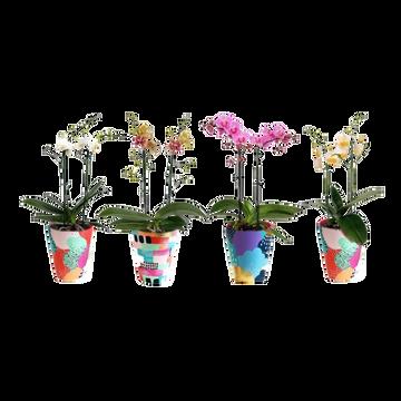 as Phalaenopsis Multifl.2tiges Pot Cér.12cm H.40/55cm Pays Bas