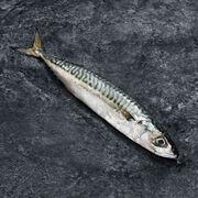 Les 300 & Bio Maquereau, Scomber Scombrus, Pêché Atlantique Nord-est 300 G
