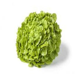 Salade Feuille de Chêne Verte, la pièce origine france