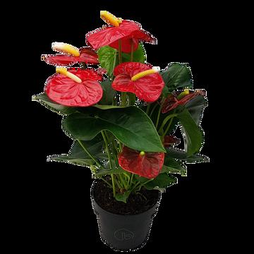 as Anthurium Pot 17cm Hauteur 60/70cm Pays Bas