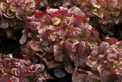 Salade Feuille de Chene Rouge la piece
