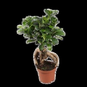 as Ficus Ginseng Pot 12cm Hauteur 30/35cm Pays Bas