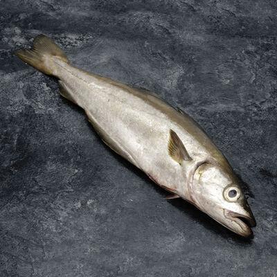 Lieu jaune, Pollachius pollachius, 0,5/1kg, pêché Atlantique Nord Est