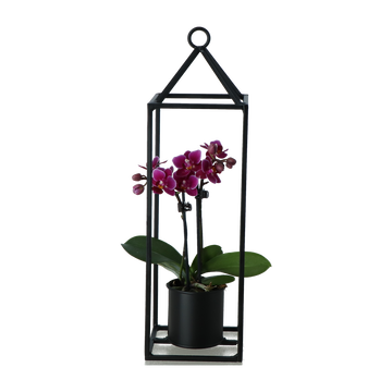 as Phalaenopsis 2tiges P6cm+photos Suspend.haut.30cm Pays Bas